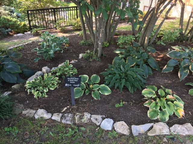 Heartland Hosta Loose Park